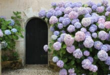 Photo of Percez les secrets des mille teintes de l'hortensia
