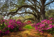 Photo of Une azalée pour fleurir son jardin ou sa maison