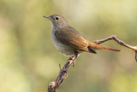 Un incroyable oiseau chanteur !