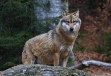 Photo of Le loup, la bête noire des éleveurs