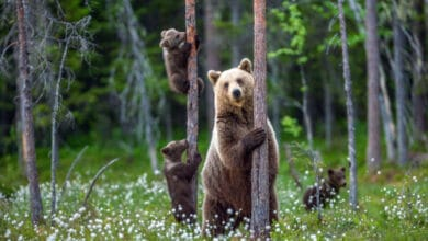 Photo of L'ours, l'adorer ou en avoir peur ?
