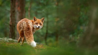 Photo of Le renard, vraiment nuisible ?