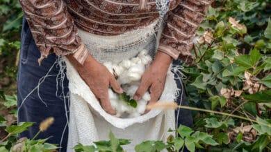 Photo of Le coton : tous les secrets de cette fibre naturelle