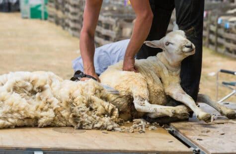 Tonte d'une jeune mouton