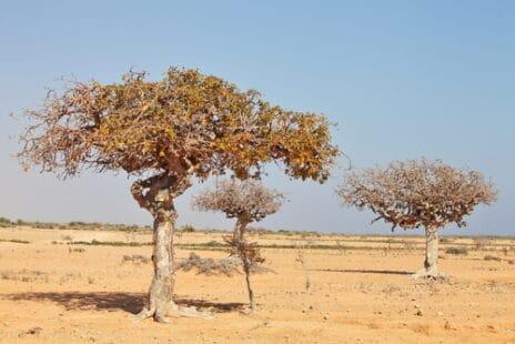 Le Commiphora myrrha, en Éthiopie