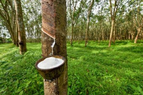 Caoutchouc liquide qui coule de l'arbre