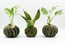 Photo of Kokedama : une sphère de mousse graphique