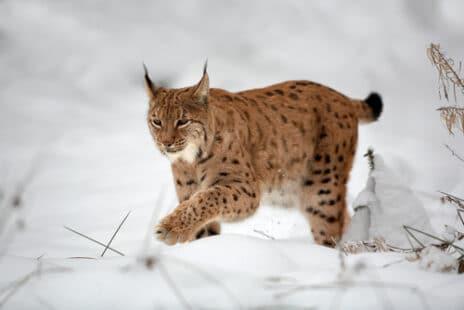 Le félin dans la neige