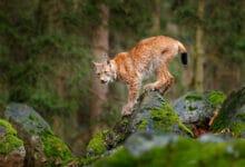 Photo of Le lynx, cet autre mal-aimé