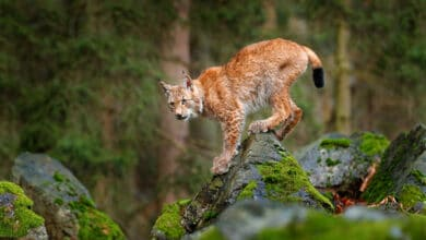 Photo of Le lynx, cet autre mal-aimé