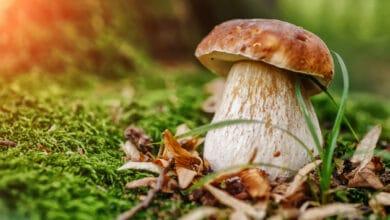 Pied de cèpe en forêt, mousse, feuilles mortes et brindilles