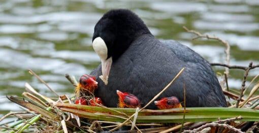 Foulque sur son nid lacustre flottant en train de nourrir ses oisillons