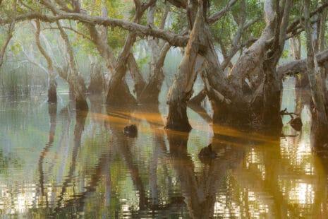 Une forêt d'arbres de cajeputs