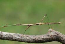 Un phasme bâton sur une branche d'arbre