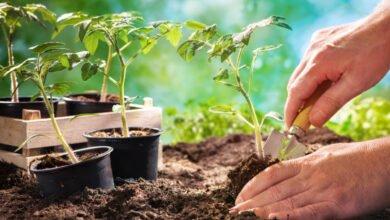 Mains plantant un pied de tomate dans la terre à l'aide d'un transplantoir. Pieds de tomate en godet en fond