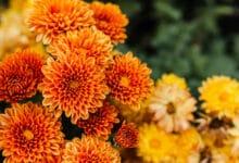 Photo of Des chrysanthèmes pour la Toussaint