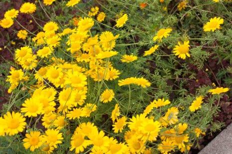 La très belle variété tinctoria à fleurs jaunes