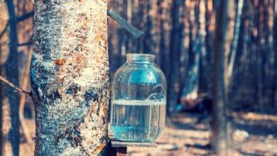 Tronc de bouleau avec un récolteur de sève pou recueillir du jus de bouleau dans un bocal transparent
