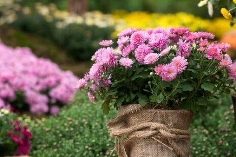 Une variété rose en pot