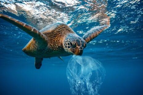 Une tortue marine confondant un sac en plastique et une méduse