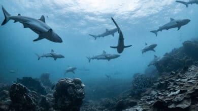 Photo of Le requin, notre bête noire imaginaire
