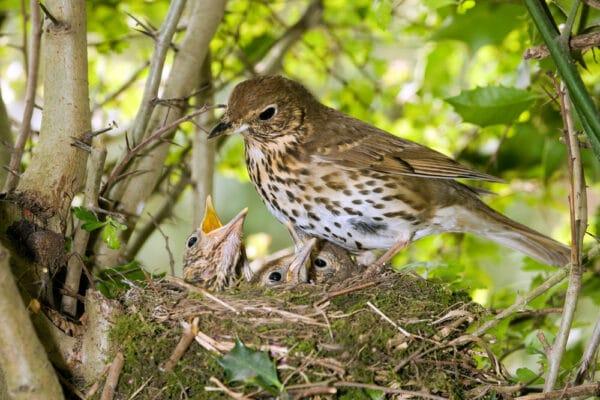 Grive adulte nourrissant ses petits dans leur nid dans un arbre