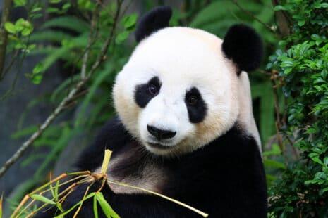 Un très gros mangeur de bambou