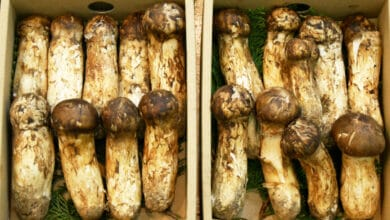 Photo of Matsutake : un champignon japonais qui vaut de l'or