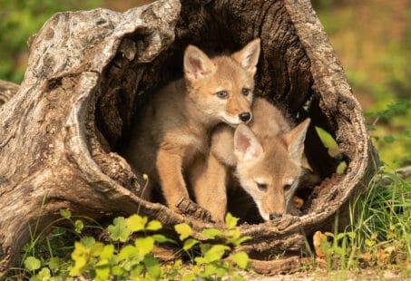 Les bébés du coyote
