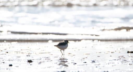 Gravelot se nourrissant sur la plage