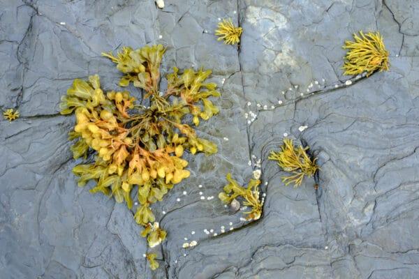 algue fucus