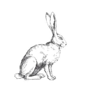 Dessin au croyaon en noir et blanc d'un lièvre assis, longues oreilles