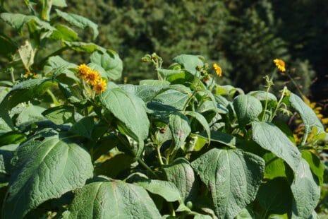 La culture de la poire de terre