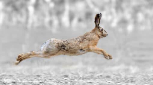 Lièvre les quatre pattes en l'air, en train de courir à grande vitesse