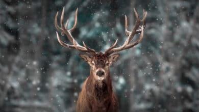 Tête de cerf de face, majestueux, neige tombant