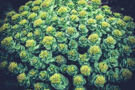 Plante rhodiola