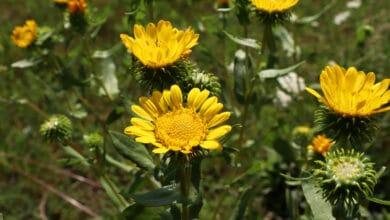 Fleur jaune de grindélias sur pieds