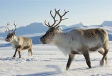 Deux jeunes rennes dans la neige