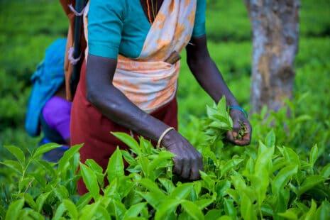 Femme noire cueillant des feuilles de thé à la main