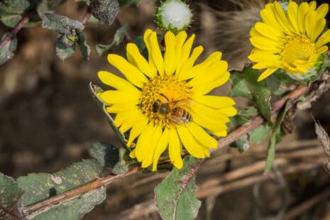Apis mellifera butinant une felur jaune de grindelia robsuta