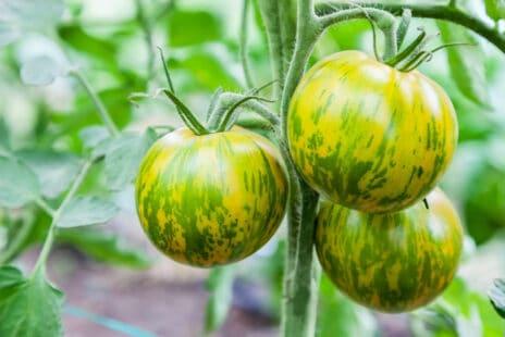 Plant de tomates Green Zebra