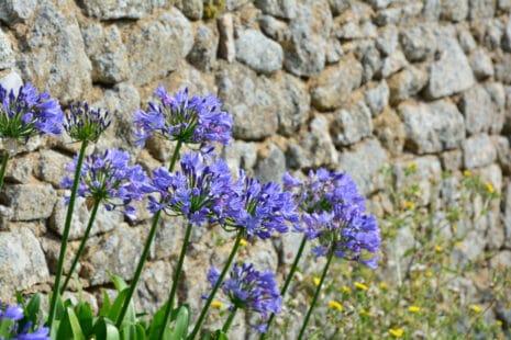 Agapanthes beues devant un mur en pierre