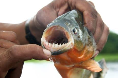 Un pêcheur tenant un piranha et baissant avec son doigt sa lèvre inférieure, on découvre ses dents pointues et acérées