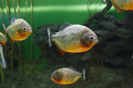 NAC : des piranhas dans un aquarium