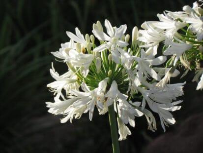 Gros plan sur une fleur blanche d'agapanthe