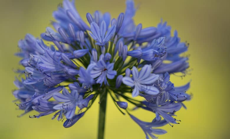 Gros plan sur une fleur bleue d'agapanthe