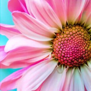 Marguerite sur de près : capitule et pétales rose orangé