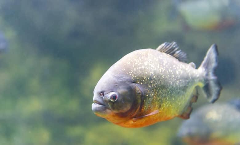 Un piranha nageant seul dans l'eau