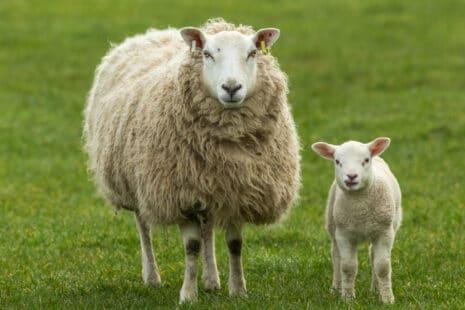 Brebis à la toison très dense avec son agneau dans un champs