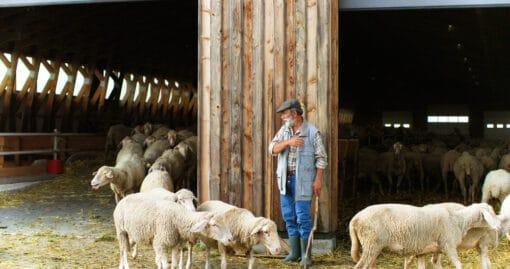 Moutons et berger devant une étable en bois